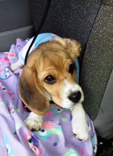 cachorros beagles de 13'' listos para entrega