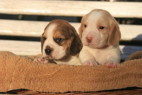 cachorros beagles padres campeones fca