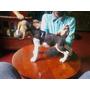 Cachorros Beagles, 100% Puros Padres Con Pedigree