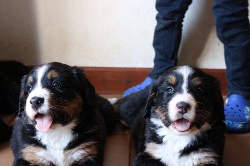 cachorros bernés de la montaña...espectaculares!!!