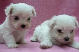 cachorros bichon maltes