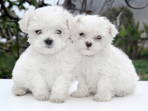 cachorros bichon maltes toy vacunados - garantía de raza
