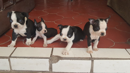 cachorros boston terrier