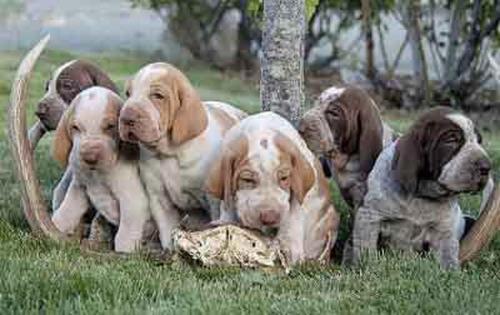 cachorros bracco italiano