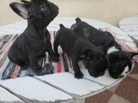 Bellon Corto Cachorros Pit Bull De 60 Dias Redboy Jocko - Perros de