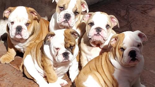 cachorros bull dog ingles