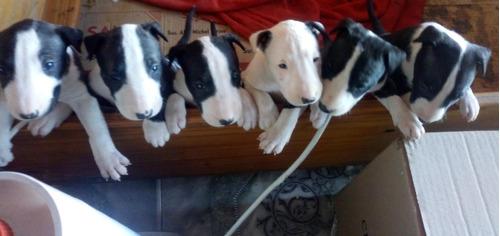 cachorros bull terrier fca  de peracho x donnatella
