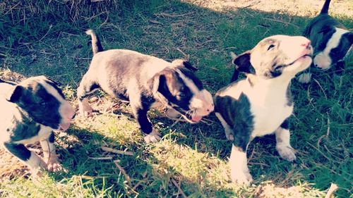 cachorros bull terrier. madre papeles fca
