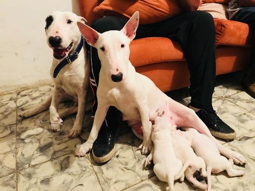 cachorros bull terrier  mini envios a nivel nacional