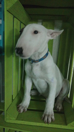 cachorros bull terrier pedigree