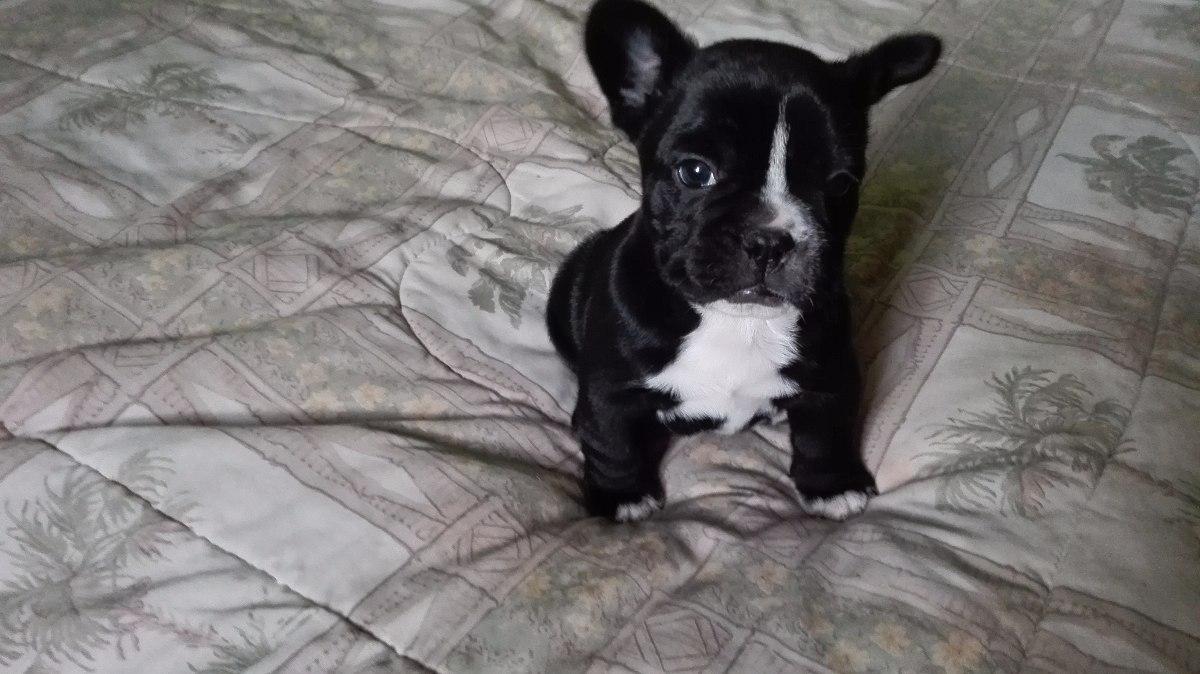 Cachorros Bulldog Frances 470 000 En Mercado Libre