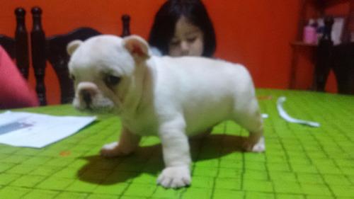 cachorros bulldog frances hembras de 1ra!!!