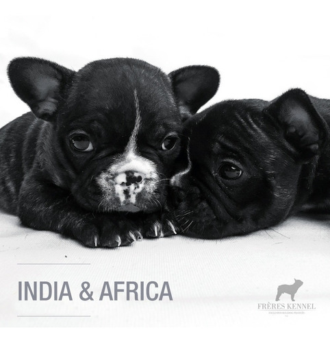 cachorros bulldog francés hembras excelente pedigree fca