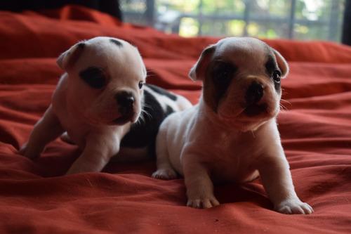 cachorros bulldog francés papeles