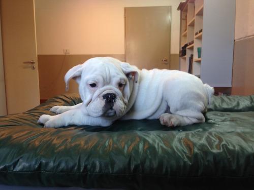 cachorros bulldog inglés con papeles de fca