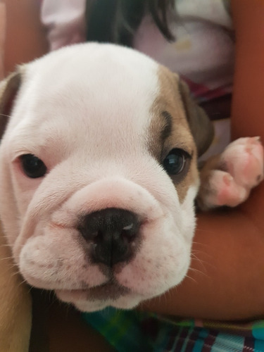 cachorros bulldog inglés con pedigree