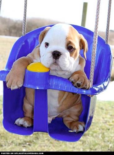 cachorros bulldog ingles hembras