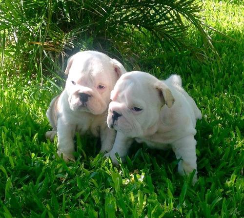 cachorros bulldog ingles, padres importados full pedigri