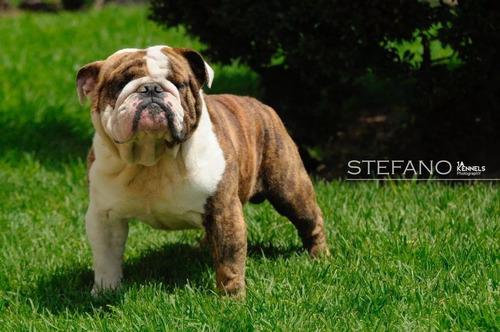 cachorros bulldog inglés súper calidad