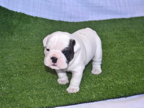 cachorros bulldog ingles.camp en su pedigree.machos y hembra