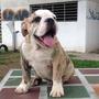 Excelentes Cachorros Buldog Ingles Con Registro De Pedigree