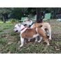 Cachorro Bulldog Inglés
