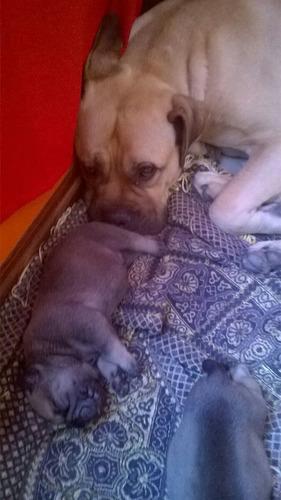 cachorros bullmastiff