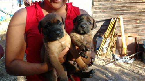 cachorros bullmatiff con mastín napolitano