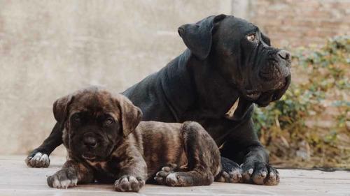 cachorros cane corso/mastín italiano