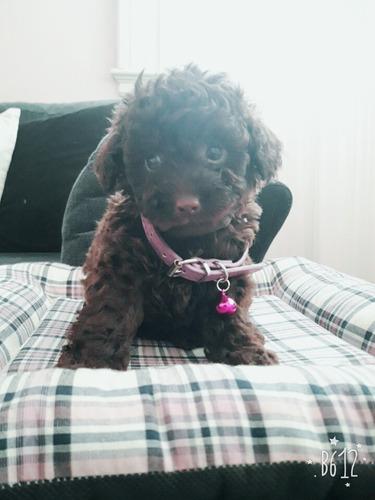 cachorros caniche mini toy