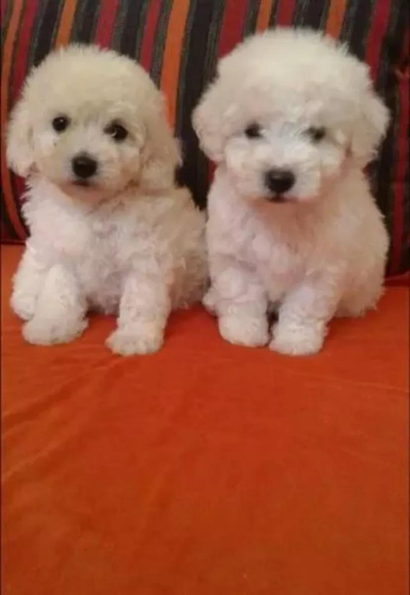 Cachorros Caniches Mini Toy 14 999