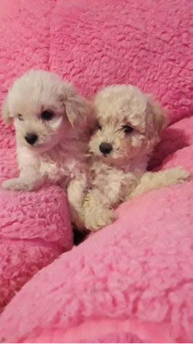 cachorros caniches toy hembras mini micro