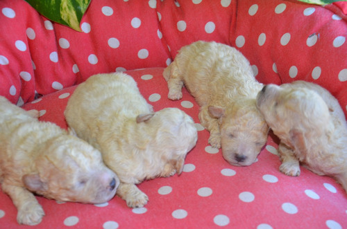 cachorros caniches toy varios colores hembra  desde: