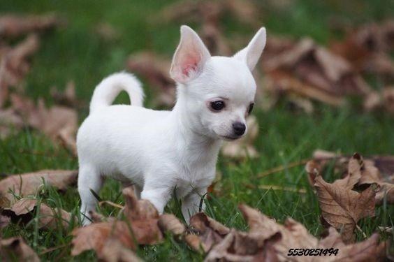Resultado de imagen para cachorro chihuahua
