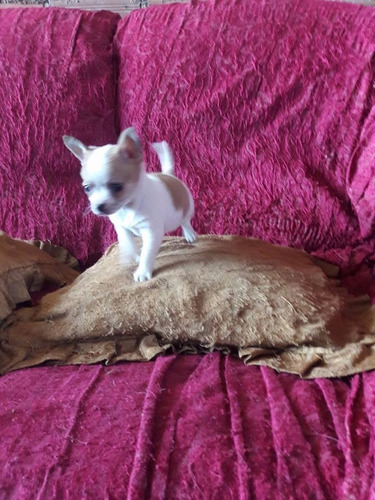 cachorros chihuahua toy