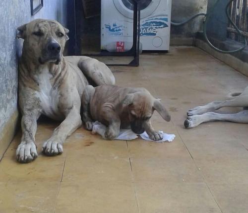 cachorros cimarrones puros