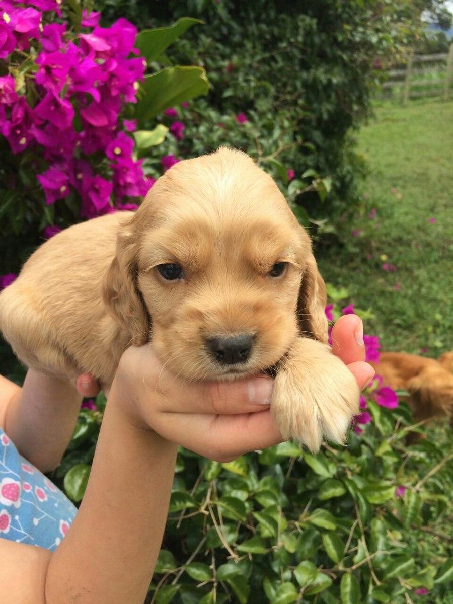 Cachorros Cocker Spaniel - $ 370.000 en Mercado Libre