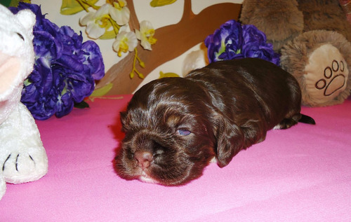 cachorros cocker spaniel americano pedigree inter fci opc