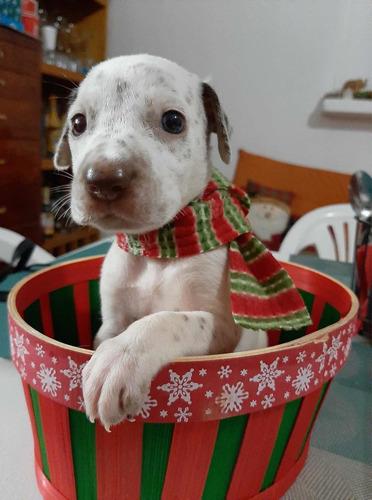 cachorros dálmatas 1.5 meses