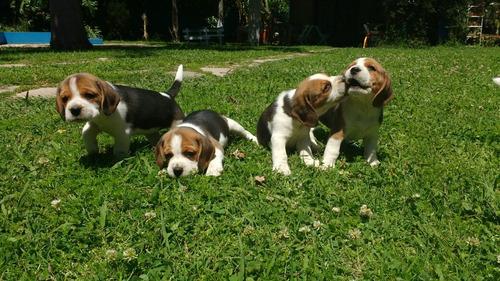 cachorros de beagle!  pedigree fca nietos de campeones !