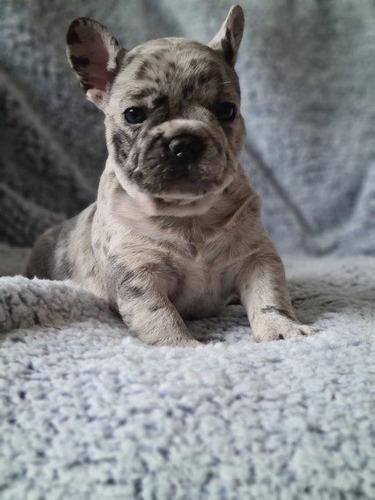cachorros de bulldog francés para adopción