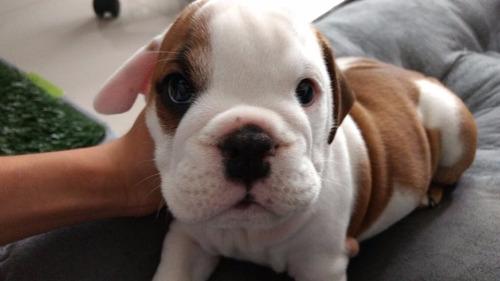 cachorros  de bulldog inglés hembras y macho buena linea
