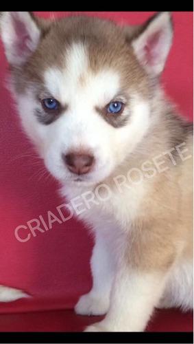 cachorros de criadero rosete husky siberiano dpa