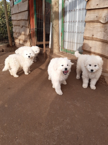 cachorros de kuvasz