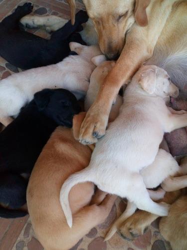cachorros de labrador
