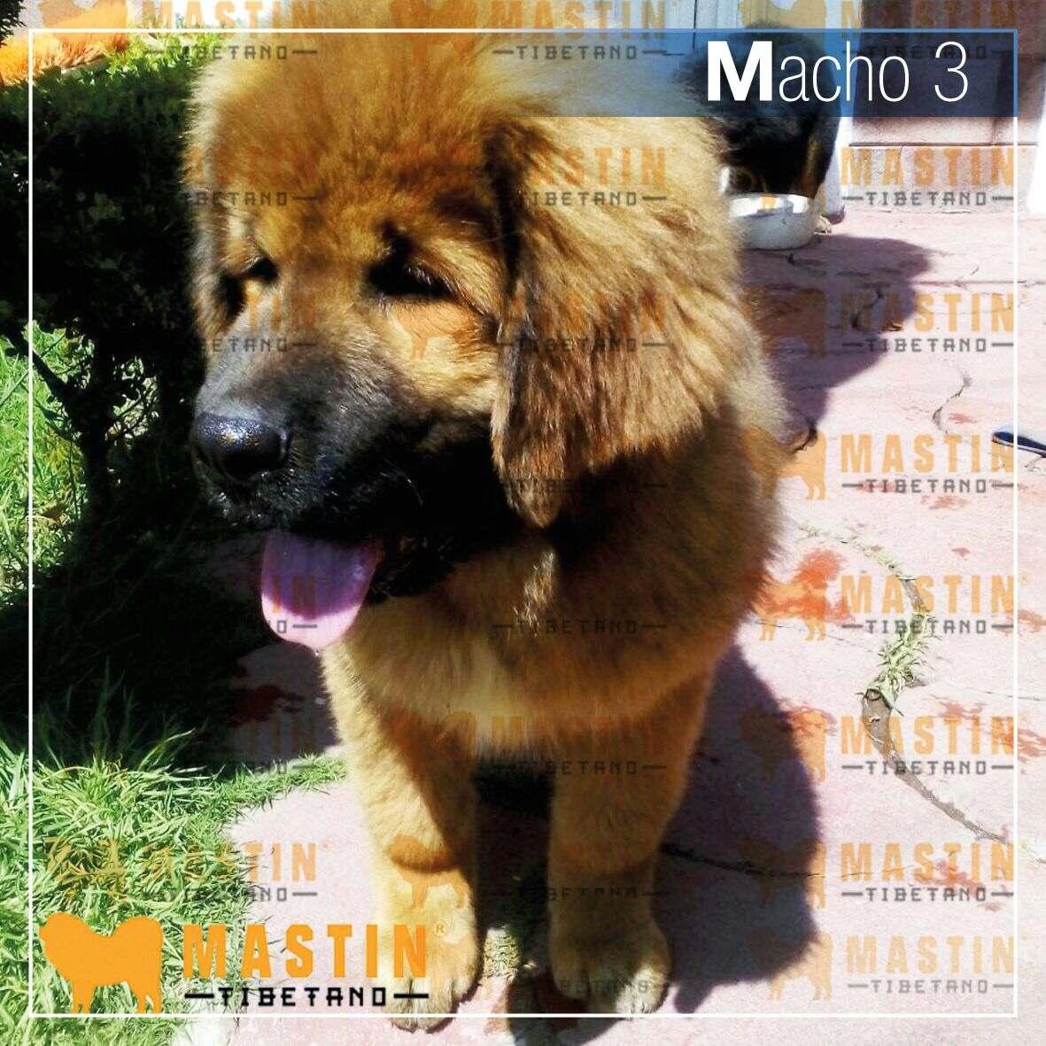 Cachorros De Mast N Tibetano En Venta 50 En