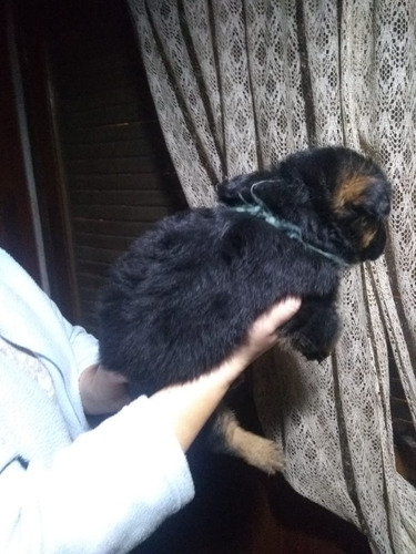 cachorros de ovejero aleman