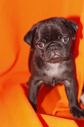cachorros de pug para su adopción