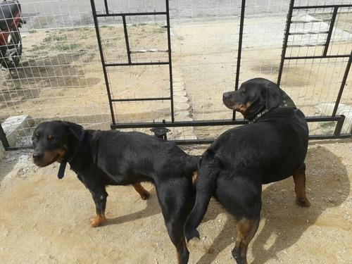 cachorros de rotweiler