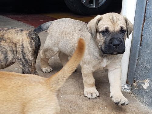 cachorros dogo canario en venta